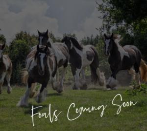 Ponderosaridgeranch-foalscomingsoon2